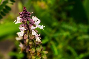 タイ語で「ガパオ」とは、タイ料理でよくスパイスとして使われるシソ科の植物「ホーリーバジル(日本名はカミメボウキ)」のことです。