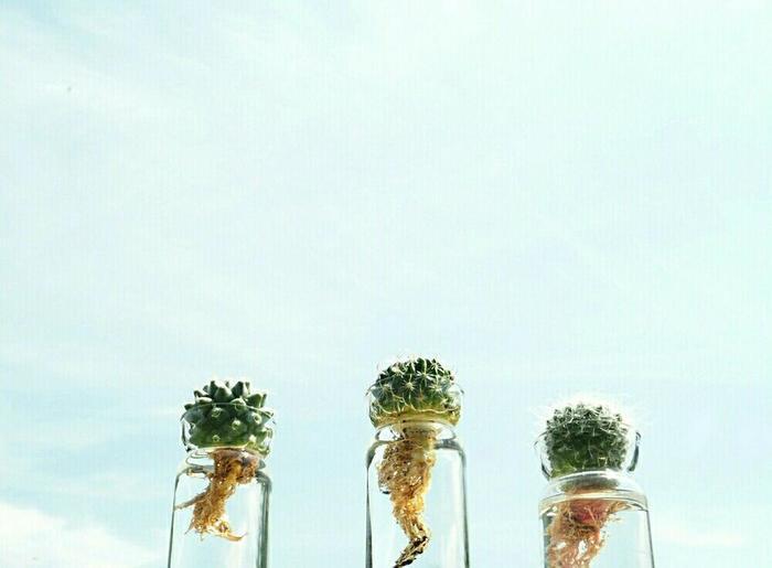 鉢で育てるサボテンも素敵だけど、水やりやアリなどの虫などが気になって始められないって悩んでいない?水耕栽培なら、アリの心配もないし、水やりも簡単。下へ下へと根っこを伸ばしていくサボテンに癒されながら、暮らしに小さな緑を取り入れて楽しんでみませんか?