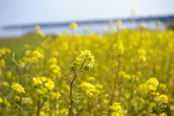 七尾市の花でもある菜の花。春になると七尾では、このようにやさしくうつくしい風景が一面に広がります(画像提供:高澤ろうそく)
