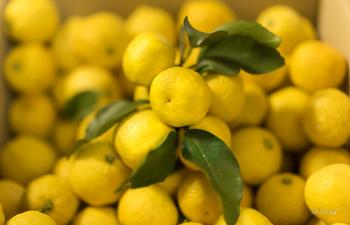 ゆずの皮に含まれるビタミンCは、レモンの2倍。果肉に含まれるクエン酸は、みかんの3倍。ということは、ゆずの「皮」も「果肉(果汁)」も使うのがポイントなのですね。ゆずをまるごと使う塩ゆずなら、そんなゆずの栄養をたっぷりいただけますよ。