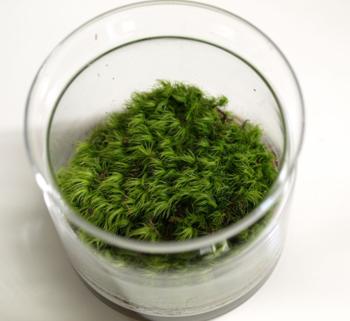 「テラリウム」と「苔テラリウム」では、ガラスの中に入れる植物が違います。「テラリウム」は苔だけでなく、多肉植物やシダ、小ぶりな観葉植物などを自由に組み合わせたもの。一方、「苔テラリウム」はネーミングの通り、苔をメインの植物としてテラリウム作ったものです。寺院などに見られる『苔庭』のような風情ある佇まいが楽しめます。