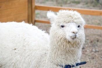 アルパカは、動物園でも大人気の、もふもふの動物。