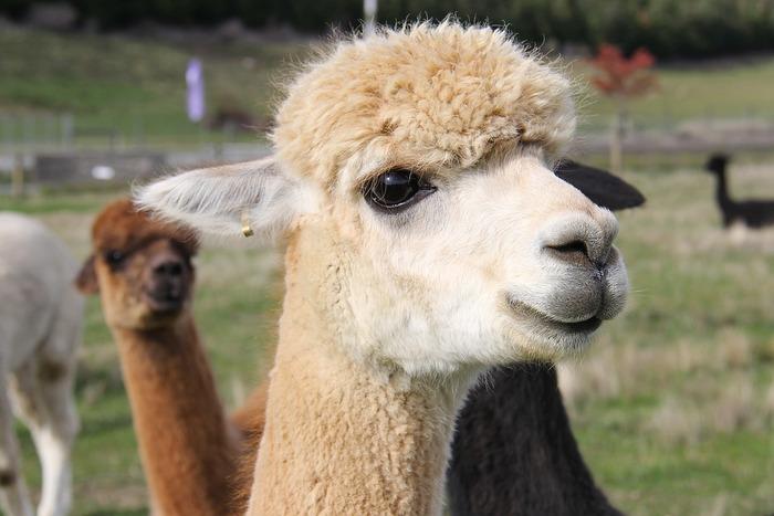古来から、体毛を加工するため品種改良され、放牧されてきました。