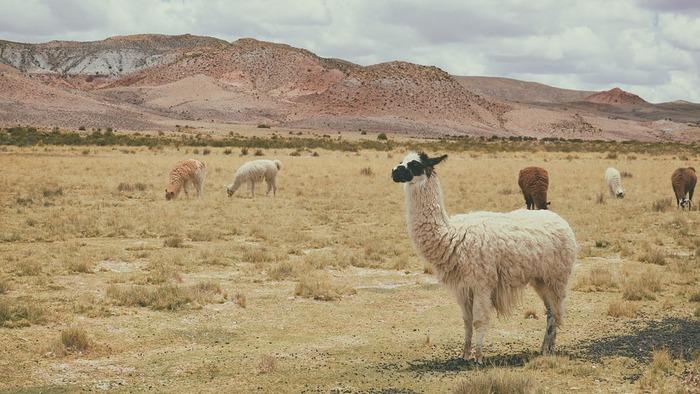 アルパカの毛は刈り取るまではどんどん伸び続けるんです!アルパカは野生にはいないので、きちんと刈り取られるアルパカがほとんどなんです。