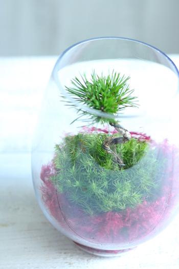 苔とは対照的なさし色と組み合わせて作るのも素敵ですね。こちらは赤のギャザリング水苔を使ってテラリウムにしたものです。