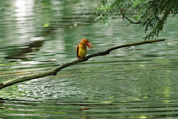 運が良ければこんな可愛いお客さんにも巡り会えるかも。 アカショウビンというこの鳥さんは十二湖を代表する野鳥で、野鳥好きの間でもとても人気があるとのこと。 自然の生き物たちとも出会いも楽しみの一つですね。