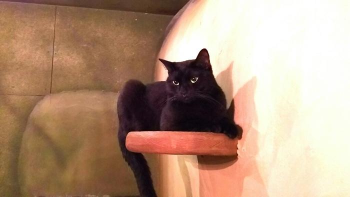 黒猫派さんは、ボンベイの「メイ」ちゃんのとりこになってしまうこと間違いなし。『魔女の宅急便』のジジそっくりだと話題の子で、みんなの人気者です。