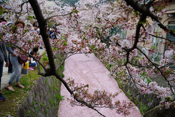 哲学の道は、琵琶湖疏水沿いに伸びています。桜並木の下をとうとうと流れる琵琶湖疏水上に、舞い散った桜の花びらが浮かび、水面は淡いピンク色に染まります。