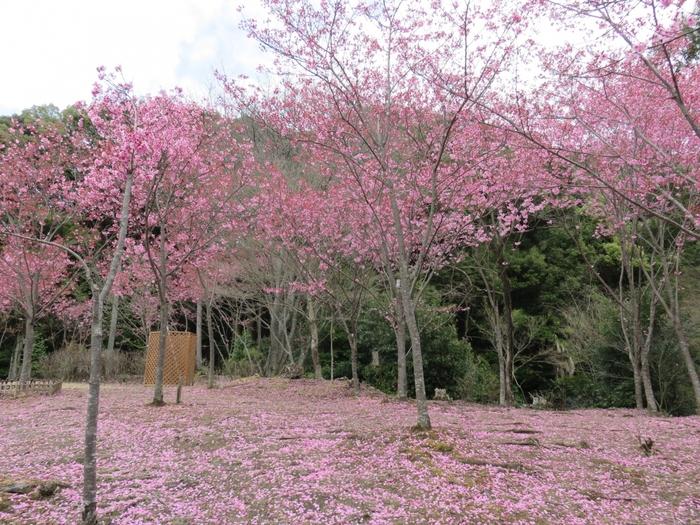 若王子神社境内には多くの「陽光桜」が植樹されています。濃桃色をした「陽光桜」の花びらが地面を覆う様は、まるで神社境内にピンクの絨毯を敷き詰めたようです。