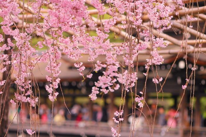 競うように花を咲かせる八重紅枝垂桜の下に立ってみましょう。まるで春そのものが舞い降りてきているかのような錯覚を感じます。
