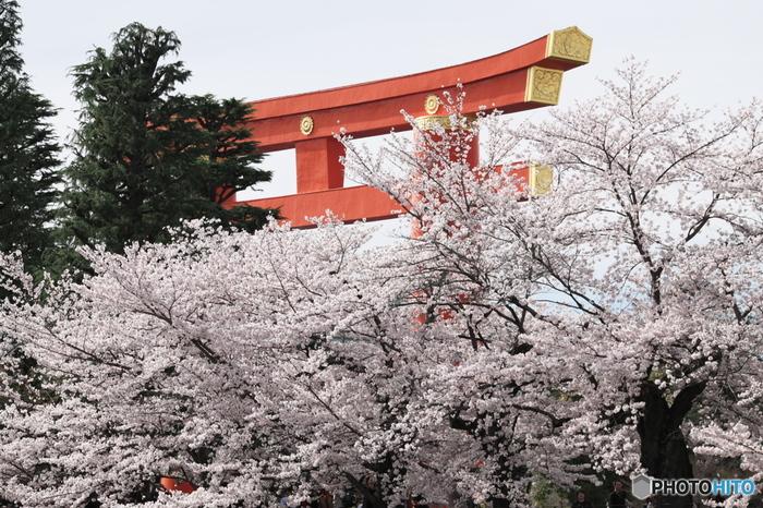 奈良から京へ都を遷した桓武天皇を祀る平安神宮は、1895年に創建された神社です。朱色の大鳥居が圧倒的な存在感を放つ平安神宮境内には、約300本もの桜が植樹されており、毎年春になると大勢の花見客で賑わいます。