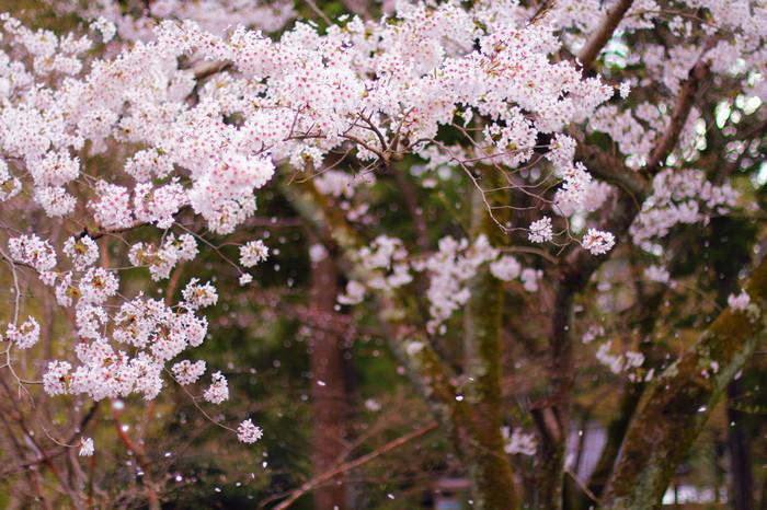 満開に咲き誇る桜も素敵ですが、散りゆく桜の美しさは格別です。荘厳な雰囲気が漂う南禅寺境内を背景に、はらりはらりと、薄桃色の花びらが風にのって地面へ舞い散る様は、まるで一幅の掛け軸のようです。