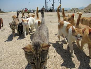 1、2匹見かけることもありますが、このように群れを成している様子も見られます。特に地元の人がえさをあげる瞬間に立ち会えば、あちこちから数十匹もの猫たちが集まる様子を見ることも出来るでしょう。