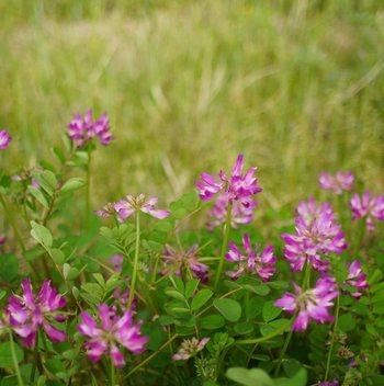 この、春の訪れを告げる可憐な小さな花。何の花だかすぐに分かりますか?これはレンゲソウの花なんです。最近はめっきりその姿を見かけなくなりましたが、田んぼで可憐に咲く小さな花を、田舎ではまだ見かけることができます。