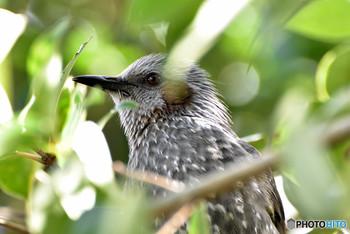都会でもよく見かける野鳥のヒヨドリですが、ヒヨドリは人間の生活圏にとても近い鳥でもあります。我が家の庭にあるもみじの木に巣を作り、ヒナ鳥の巣立ちを見せてくれました。まさに「ヨチヨチと」羽ばたくひな鳥を、つがいで優しく見守りながら山里へ誘う姿に、いのちの循環の力強さを感じずには居られませんでした。赤く南天の実が実る頃、にぎやかにヒヨドリの鳴き声が響きます。