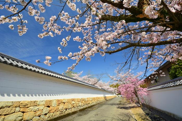 春が訪れる頃、真っ白な壁が延々と続く築地塀沿いに桜が一斉に花を咲かせます。抜けるような青空、白い築地塀、満開の桜が織りなし、築地塀沿いの景色はまるで一枚の絵画のようです。