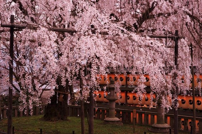 参道に咲くソメイヨシノのほか、境内には枝垂桜が満開の花を咲かせます。枝垂桜とソメイヨシノは咲く時期が少し異なるので、大石神社では、数週間に渡り、桜鑑賞を楽しむことができます。
