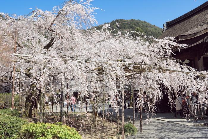 宸殿前の枝垂桜の美しさは訪れる人を魅了してやみません。樹齢100年を超える枝垂桜が満開に花を咲かせる様は、まるで春そのものが毘沙門堂に舞い降りてきているかのようです。