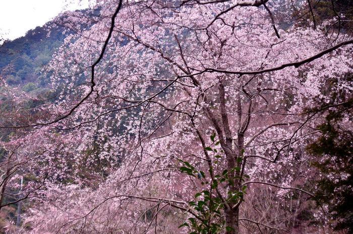 霞がかった山を背景に、大きな枝垂桜が満開に咲く様は、まるで一幅の掛け軸のようです。