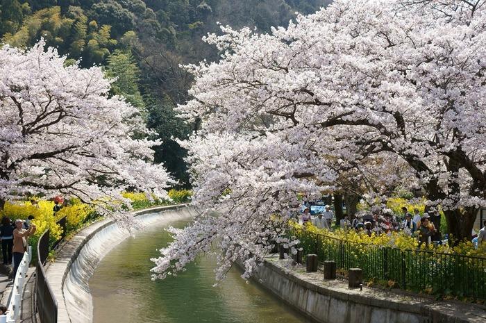 桜が満開になる頃、桜並木は桜のトンネルへと変貌し、大勢の花見客がこの地を訪れます。遊歩道には黄色の菜の花が咲き、桜並木の美しさを引き立てています。