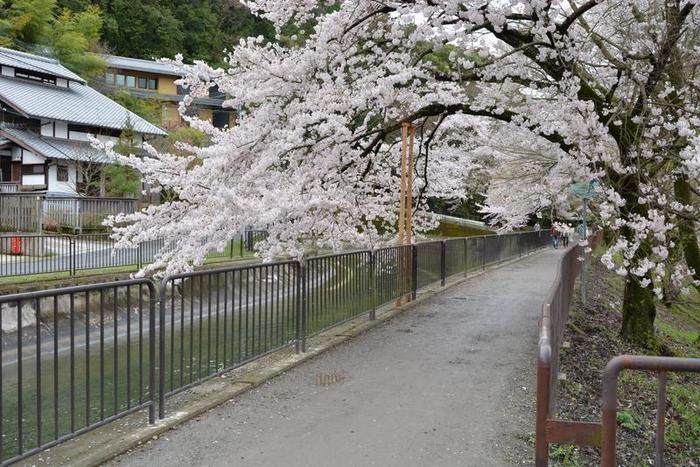 山科疎水は、琵琶湖から京都市内へ水を運ぶ琵琶湖疎水の一部です。四ノ宮から日ノ岡を結ぶ約4キロメートルの疎水両岸には、ヤマザクラ、ソメイヨシノなど約660本の桜並木が続きます。