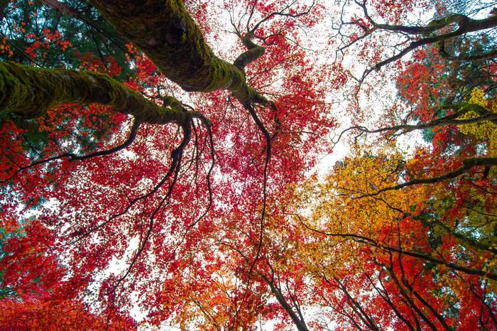 秋から冬へと移り変わる頃。鶏足寺周辺の里山では、もみじの葉が一斉に色づいて、燃えるような色彩に。
