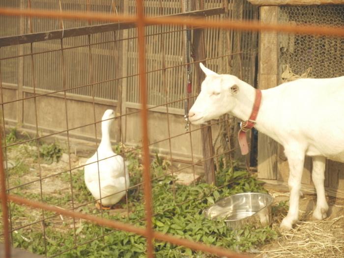 こちらヤギさんのほか、飼われているアヒルもお庭をひょこひょこと歩いています! ちなみにエンガワカフェさんはペット連れも可のお店♪