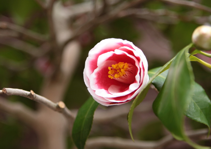 玉之浦(タマノウラ)という品種。赤に真っ白な覆輪が入る一重咲きの品種です。長崎県五島列島の福江島で発見された椿で、残念なことに増殖用として穂木が乱獲されてしまい、原木は枯死して現存していません。覆輪のコントラストがとっても美しい玉之浦、見かけたら是非おうちに迎えてみて!