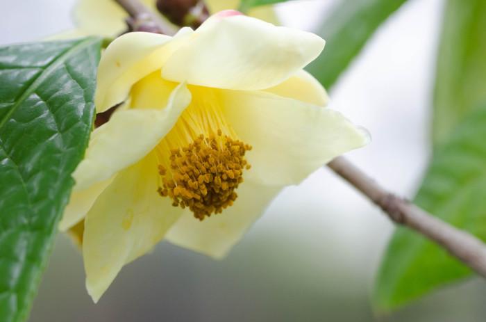 こちらは、中国の黄色い椿、金花茶(キンチャカ)という品種。日本の椿とは違った葉っぱの形をしていますが、同じツバキ科の花です。昭和50年代に当時椿は赤が主流だった頃、幻の黄色い椿が中国にあるとして話題になった品種ですって。以降、品種改良が進み、様々な黄色い椿が誕生しているんですよ。