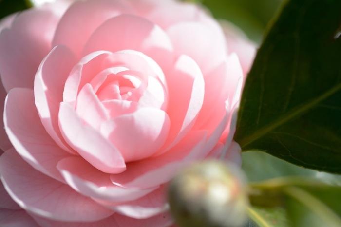 乙女椿(オトメツバキ)という品種。淡いピンクが可憐な椿で、柔らかな印象が人気の品種です。八重咲きよりももっと華やかな千重咲きは、まさに「日本のバラ」と感じる程の美しさですよ。