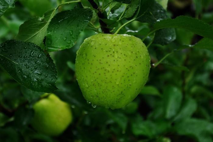 皮が黄緑色の王林(おうりん)は、青森県でふじ、つがるに続く生産量を誇る人気の品種です。皮の色から、酸っぱいと思われがちですが、しゃくしゃくとした食感と甘さがどこか梨のよう。水分が抜けてふかふかした食感になってしまったら、迷わずお菓子作りに使いましょう。  煮ると崩れやすいのですが、それを利用してジャムにすると美味しく食べられます。