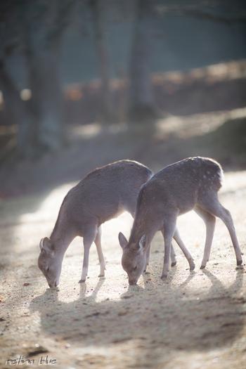 奈良と言えば大仏様と、忘れてはいけないのが鹿さんですよね。武甕槌命(たけみかづちのみこと)が、鹿に乗って春日大社へやって来たことから、鹿は神の使い『神鹿(しんろく)』とも言われていて、神聖な動物とされています。奈良では、鹿寄せ・子鹿公開・角きりなどのイベントも行われています。