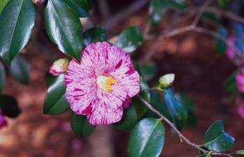 唐錦(カラニシキ)という品種。斑入りとよく似ていますが、こちらは「吹掛け絞り」という花色です。唐錦は、八重咲きの古い品種ですが、絞りが美しく、今でも愛され続けている品種です。