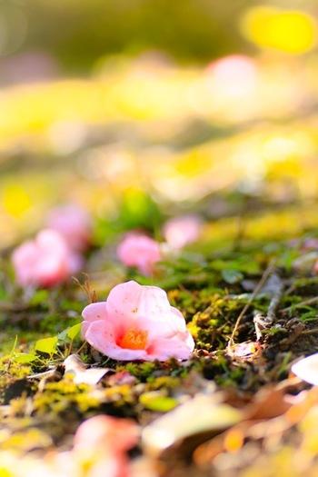 椿に非常に似た花を付ける植物として有名なサザンカ。皆さんその違いってご存知ですか? 椿は花弁がボトッと丸ごと落ちるのに対し、サザンカは花弁が個々に散っていくという違いがあります。この花の落ち方から、縁起が悪いとされることもありますが、その花の美しさは「日本のバラ」と称賛されるほどの人気です。