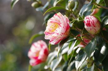 椿は、古くから愛されているからこそ、園芸品種がとっても多いんです。咲き方や斑の入り方、花色など、きっとあなたのお気に入りの1本が見つけられるはず!