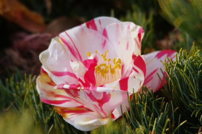 古くから日本人に愛され続けている椿。実は日本原産の植物で、朝鮮半島や台湾にも分布しています。この馴染み深い植物は、概ね暑さや寒さに強く、育てやすい植物として人気です。寒さが残り、庭木の花が少ない2月から咲はじめ、3月下旬まで凛とした美しい花を咲かせます。  凜としたその姿は、目指したい日本の女性の美しさそのものですね。
