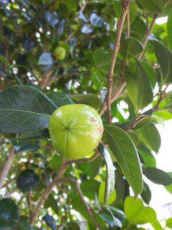 硬い種子は、椿油が採れるとしても有名ですよね。独特の香りがする椿油は、高級食用油としてだけでなく、整髪料や古くは燃料としても使われていました。
