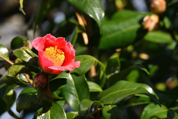 凛とした花姿に負けず、つやりとした光沢のある濃い緑で厚みの葉っぱも魅力のひとつ。椿の名前の由来に関する諸説は、この美しい葉っぱに因んだものが多く謂われています。