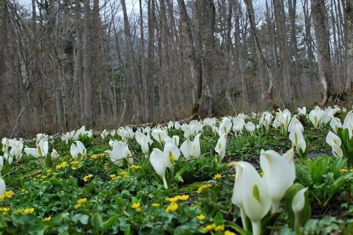 5月、雪解けとともに水芭蕉が満開になる「戸隠森林植物園」。奥社参道からも入っていけます。