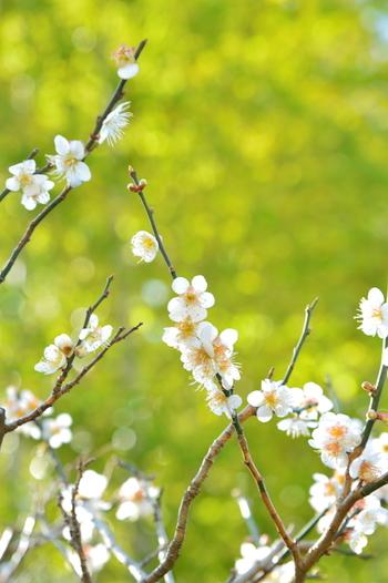 美しい梅の花