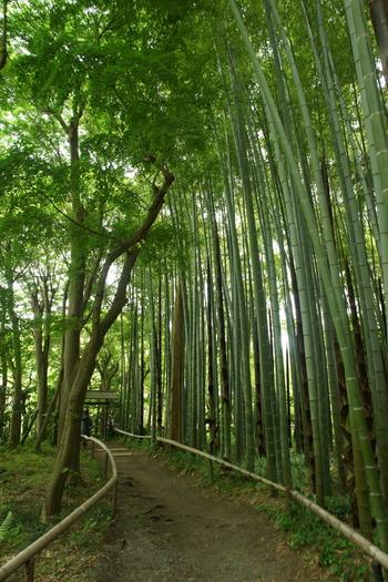 二つの竹林を同日に観るのも良いですが、出来るのなら一箇所に留めた方がその良さが心に残ります。  「英勝寺」の竹林をメインに据えるのなら「北鎌倉駅」から、円覚寺・明月院・浄智寺・建長寺等の周辺スポットを巡り、「英勝寺」の竹林を歩き、小町通を通って「鎌倉駅」を終点にしてみましょう。  歩き足りない方は、「英勝寺」から源氏山公園へと上り、大仏ハイキングコースへと歩いても。 【画像は「英勝寺」境内奥にある竹林】