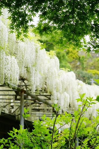 「英勝寺」も「報国寺」同様に、四季折々に咲く花が美しいお寺です。4月下旬から5月上旬は、白藤が見頃です。鎌倉には藤が美しいお寺が他にもあります。この季節に鎌倉を訪れるのなら、藤棚と竹林を巡っても。【画像は「英勝寺」境内の藤棚】