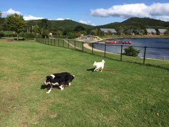 施設の中央にはレイクレジーナという人造湖があり、湖畔にドッグランが完備されています。ワンちゃんたちが縦横無尽に走りまわって楽しんでいます。追いかけっこしよう!