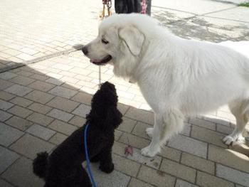 右の白いピレネー犬の子は、看板犬のジーナちゃんです。こんにちは、仲良くしてね♪
