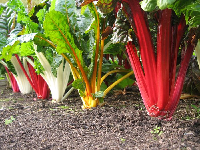 カラフルな色が出るのは栄養的にもうれしいことで、ポリフェノールの一種でもある天然色素「ベタライン色素」によるもの。この色素の中には、赤紫色を発色するものや、黄色を発色するものがあり、その色素のバランスによって違った発色の茎ができてくるのです。