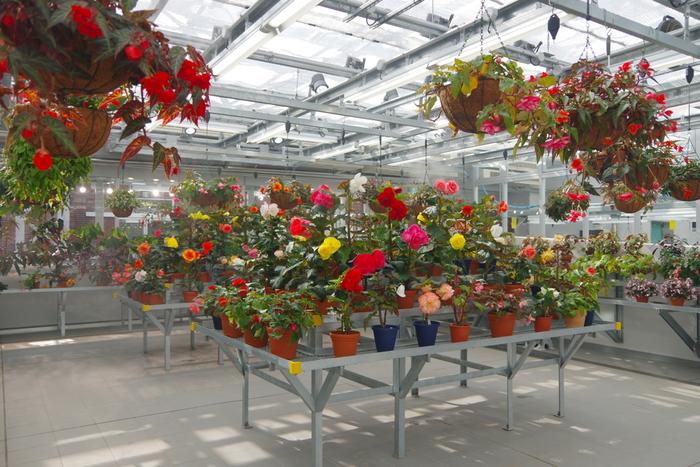 ベコニア園にはたくさんの種類のベコニアが...小さいお花というイメージを見事にくつがえされますね。