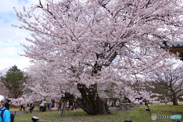 上醍醐と下醍醐を合わせると約8万坪にも及ぶ広大な境内には、約2000本の桜が植樹されています。その中には、樹齢100年を超える桜の大木もあり、満開の花を咲かせて訪れる人々を魅了します。