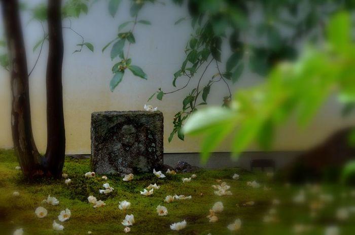 東林院にて撮影 花は沙羅双樹(夏椿)