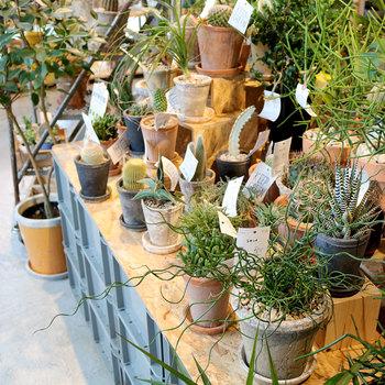ディスプレイには土や緑などの自然が取り込んであり、見ているだけで幸せな気分になれそう。店内にも多肉植物などの観葉植物が多く売られています。