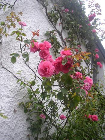 ワーズワース自らが植えたという、コテージ全面の白い壁を覆うピンクの豪華なバラ。